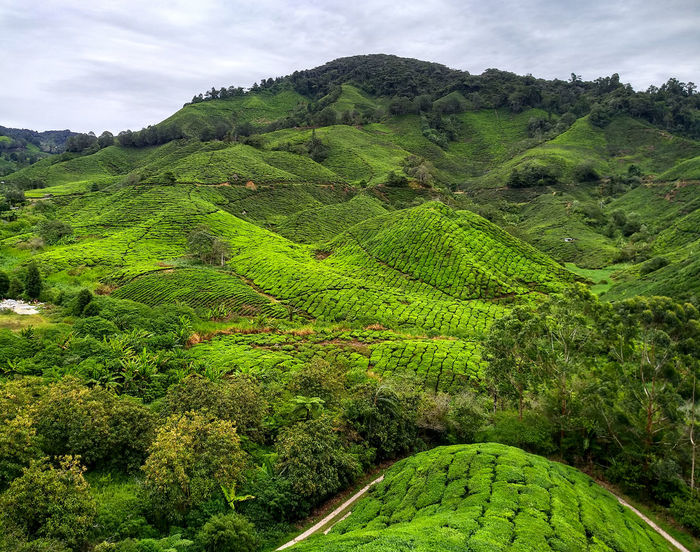 Beauty In Nature Cloud - Sky Environment Foliage Green Color Growth Land Landscape Lush Foliage Mountain Nature No People Non-urban Scene Outdoors Plant Plantation Rolling Landscape Scenics - Nature Sky Tea Crop Tranquil Scene Tranquility Tree