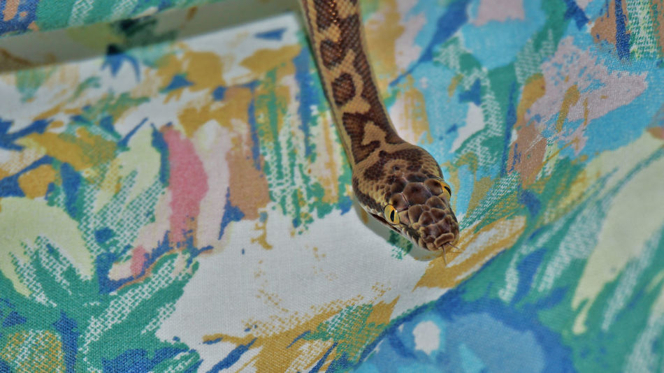 Animal Animal Head  Animal Love Animal Photography Animal Themes Animal_collection Animals Camouflage Creature Creatures Family Nature One Animal Pet Pet Love Pet Photography  Pet Portrait Pets Pets Corner Snake Snakes Snakes Are Beautiful Snakesofinstagram Tongue Tongue Out