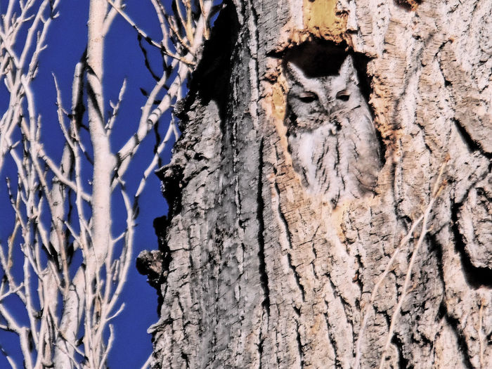 Bark Bird Branch Cold Cute Holes From Woodpeckers Natural Pattern Nature Ornithology  Outdoors Owl Rough Screech Owl Snow Tree Tree Trunk Trying To Sleep Winter Wood Wyoming The Great Outdoors - 2016 EyeEm Awards
