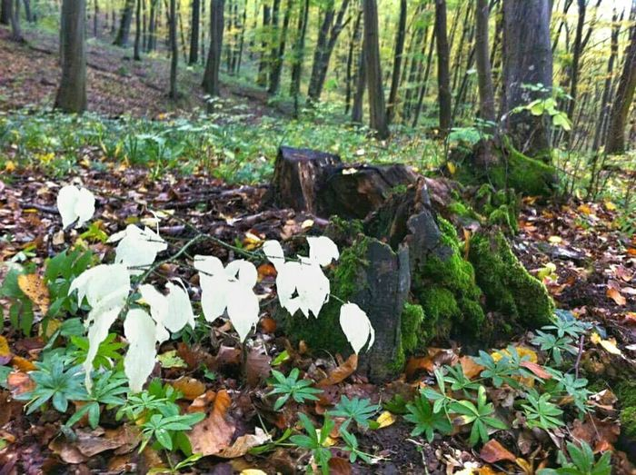 Forest Nature Tranquil Scene Tranquility Beauty In Nature Fragility Tree Area Tree Trunk WoodLand Growth Landscape Tree Hungary Trip To Nature Nature_collection Nature_perfection Naturephotography Lovenaturesbeauty Beauty In Nature Naturelovers Eyemnaturelover Whiteplants Forestphotography Forestwalk Outdoors