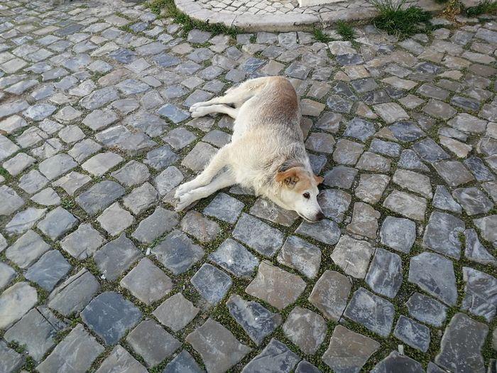 Algarve City Animal One Animal High Angle View Paving Stone Street Cobblestone Pet Dog Lying Down