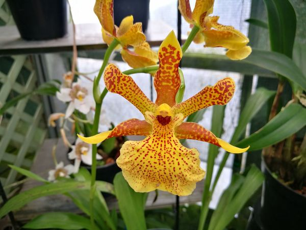 Orchid Orchidflower Orchidee Orchid Flower Flower Plant Close-up Growth Beauty In Nature Flower Head Freshness