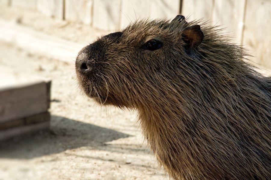 Capibara Animal Animal Wildlife Animals In The Wild Animal Themes Mammal Outdoors One Animal Animal Portrait Nature Animal Photography Portrait Photography Animal Head