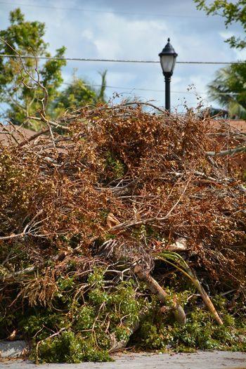 Hurricane Irma 2017 Hurricane Damage Storm Damage Downed Tree Roadside Aftermath Fallen Tree Hurricane Season  Damages Debris South Florida Outdoors No People Tree Storm Debris Piles Of Wood TreePorn Tree Hurricane