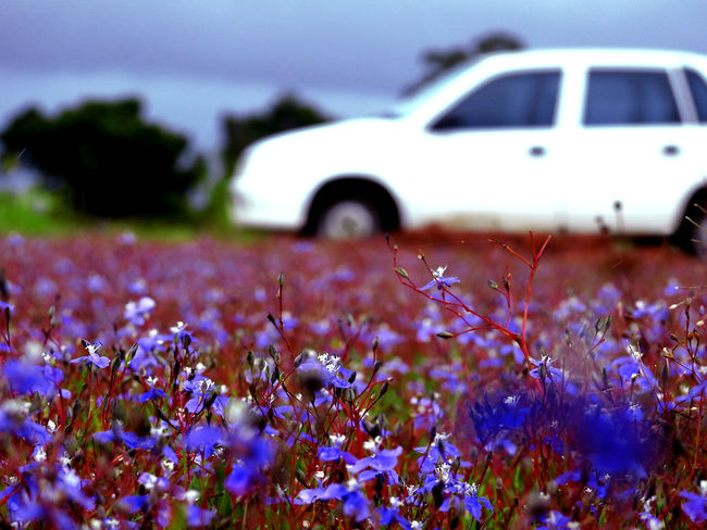 The Great Outdoors - 2017 EyeEm Awards The Week On EyeEm Beauty In Nature Blue Flowers Day Flower Fragility My Car♥ Nature No People Outdoors Plant Red Branches Scenics Selective Focus Sky Tranquility