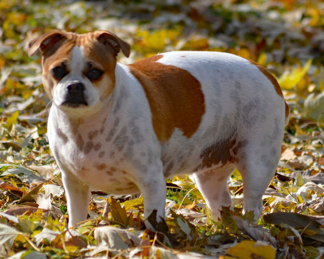 #chug Dog Mammal Domestic Animals Pets Canine Domestic Standing Small Looking At Camera Portrait #jodiesims #jodie Sims #photographerinoz #dog #doglover Puppy
