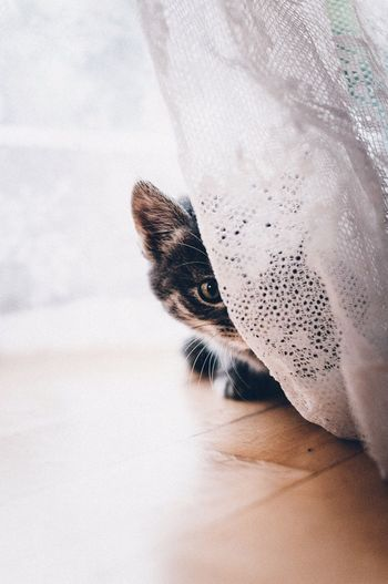 Cropped portrait of cat hiding behind white curtain
