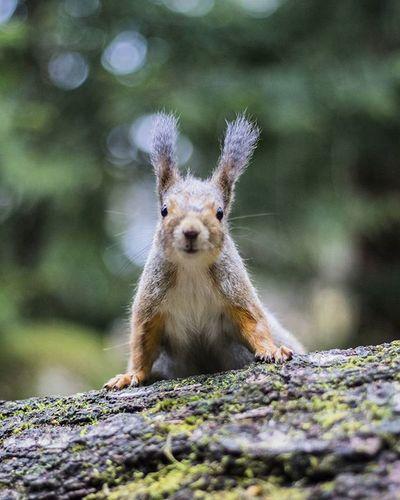Squirrel Animals Animalpotrait Forest Spring Animal Canon Visitfinland @ourfinland Helsinki Seurasaari Orava Luontokuvaus Luontokuva Cute Outdoor Outdoorlife Outdoorphotography