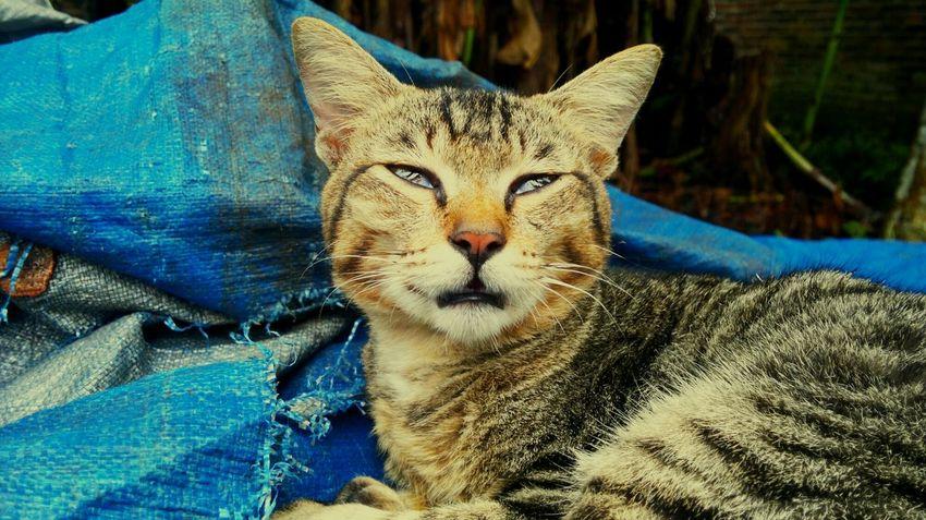 EyeEm Selects One Animal Animal Themes Mammal Feline Domestic Cat Domestic Animals Pets Close-up Portrait Day Lying Down Blue No People Outdoors Leopard Catoftheday Sick :( NokiaN8camera Teguhpandrian Pet Portraits