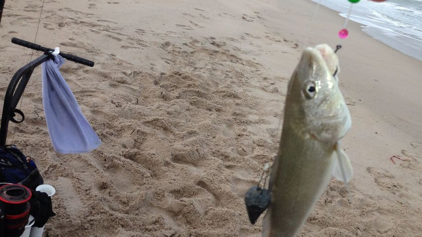 First fish of the year a small Whiting released to grow bigger Being A Beach Bum Enjoying Life