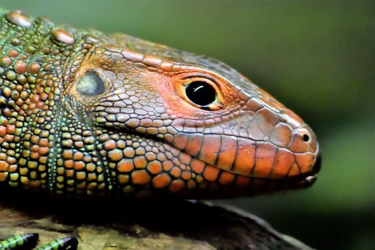 Wildlife and forestry Animal Animal Body Part Animal Eye Animal Head  Animal Scale Animal Themes Animal Wildlife Animals In The Wild Close-up Day Eye Focus On Foreground Iguana Lizard Natural Pattern Nature No People One Animal Outdoors Portrait Profile View Reptile Vertebrate