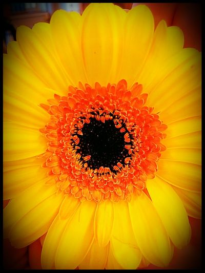 In Class Flower Close-up Vibrant Color Blossom Flowering Blooming Gerbera Germini
