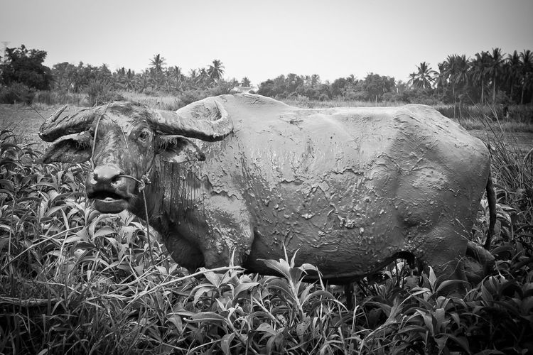 Water buffalo on grass against sky