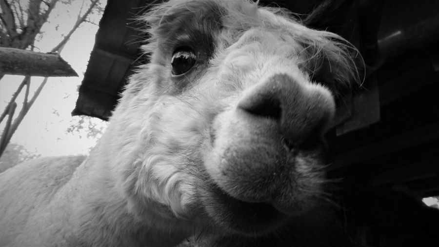 Alpaca Animal Head  Animal Themes Close-up Day Domestic Animals Livestock Mammal Nature No People One Animal Outdoors Pets