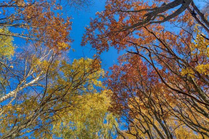 Colorful treetops. https://www.instagram.com/johnmaren/ https://www.photobymaren.com https://plus.google.com/u/0/+JohanMarengard https://www.flickr.com/photos/115763201@N02/ Tree Low Angle View Autumn Sky Branch Beauty In Nature Growth Clear Sky Blue Tree Canopy  Yellow Treetop Leaf Colors Of Autumn Autumn Autumn colors TreePorn Autumn Trees In The Woods In The Forest