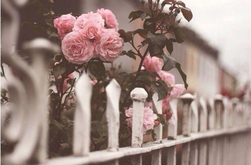 Roses Pink Beautiful Flowers