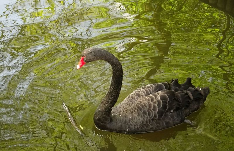 Birds_collection Beautiful Swan Natureperfection EyeEm Nature Lover Water Brillance