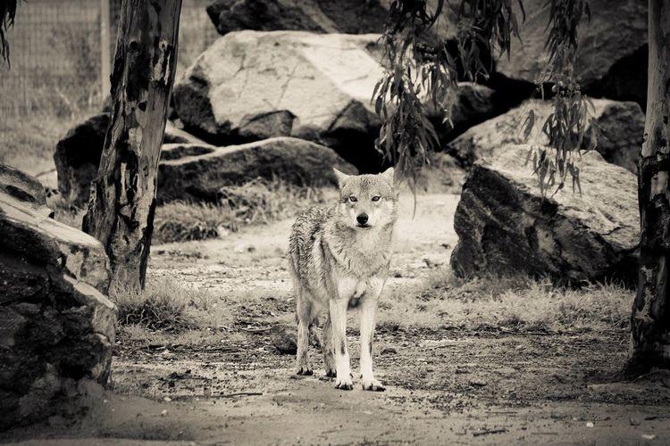Wolf Wildlife Animals In The Wild Wildlife & Nature