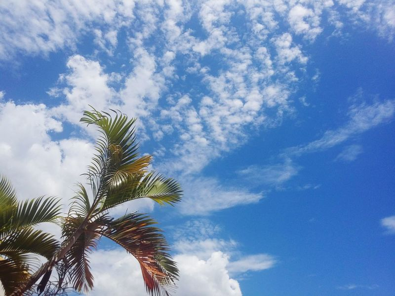 Skyview🌴 Palm Tree Low Angle View Branch Tranquility Beauty In Nature Scenics Tranquil Scene Cloud - Sky Tree Trunk Palm Leaf High Section Sky Growth Blue Cloud Tree Nature Day Outdoors Majestic