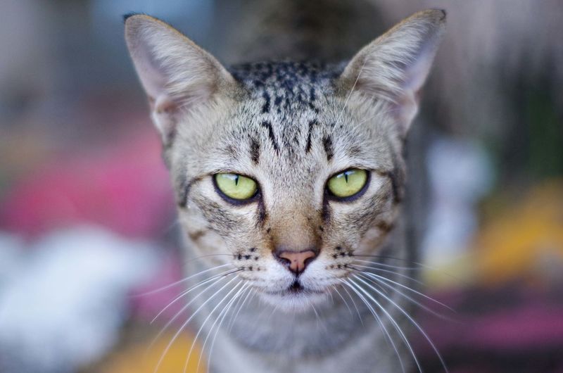 Blurry Background Pets Domestic Cat One Animal Looking At Camera Animal Themes Close-up Outdoors Thaicat Focus On Foreground Thaicat