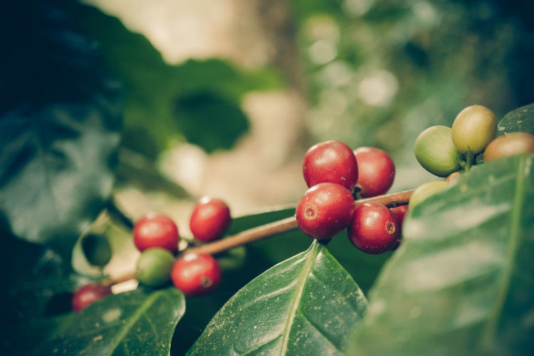 Agriculture Arabica ASIA Bean Berries Beverage Caffeine Cherry Coffee Farmer Fresh Fruit Green Growing Leaf Mountain Nature Northern Organic Picking Plant Process Raw Red Ripe Roast Robusta Thailand Tree Tropical Unripe Vintage