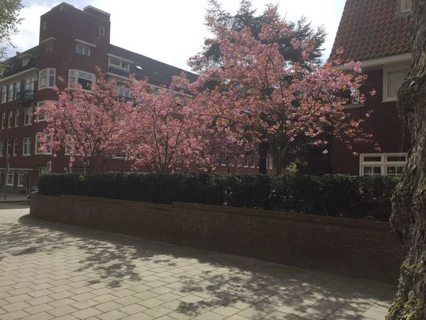 Blossoms in Amsterdam