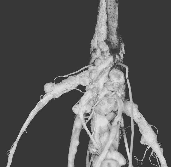 bacteria nodule Science Close-up Biology Nature Rhizobium Root Node Legume Pea Root Agriculter Plant Outdoors Thailand Nitrogen Fixation
