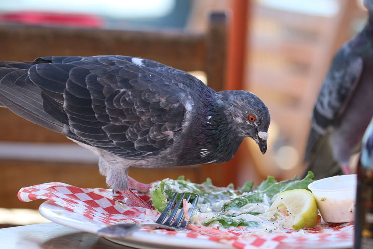 Close-up of pigeon on leftover food in plate