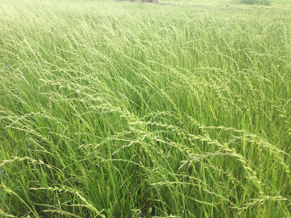 Green field of tall grass Field Grass Green Color Agriculture Backgrounds Beauty In Nature Cereal Plant Crop  Day Environment Farm Field Full Frame Grass Green Color Growth Land Landscape Nature No People Outdoors Plant Rural Scene Tranquility
