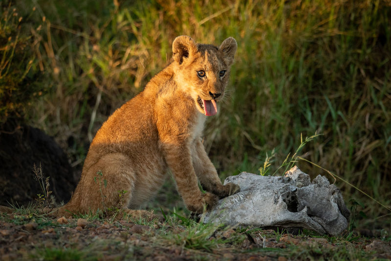Lion cub sitting on grassy field