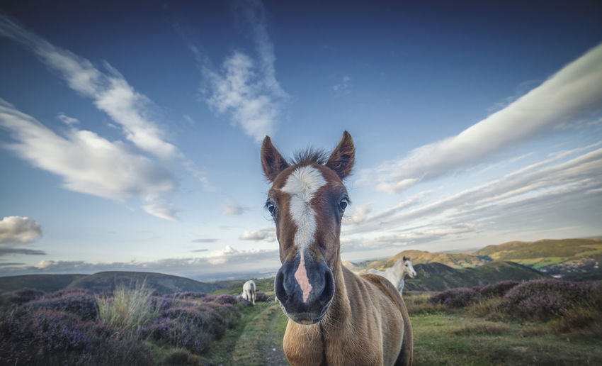 Wild Pony Foal British Pony Upland Animal Themes Animals In The Wild Beauty In Nature Close Up Close-up Cloud - Sky Day Extreme Close-up Foal Heather Landscape Livestock Mammal Mountain Mountain Range Nature No People One Animal Outdoors Scenics Sky Wild