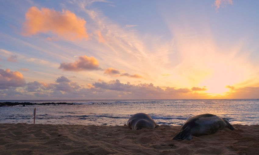 Hawaii Kauai Hawaii Orange Sky Sunset Sleeping On The Beach Sea Lions Aquatic Mammal Two Animals Sunset Sea Beach Horizon Over Water Beauty In Nature Sky Water Cloud - Sky Nature Tranquility No People Scenics Tranquil Scene Sand Outdoors Animal Themes Mammal Day