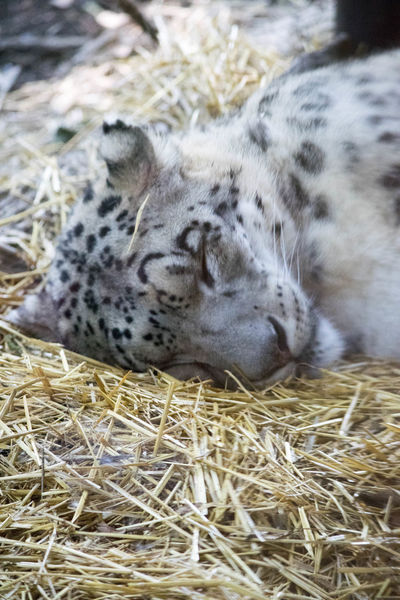 Animal Themes Animals In The Wild Cat Close-up Day Fur Lepard Lying Down Mammal No People One Animal Outdoors Relaxation Rest Sleeping Spots