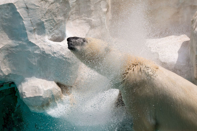 Polar bear shaking off water against rock