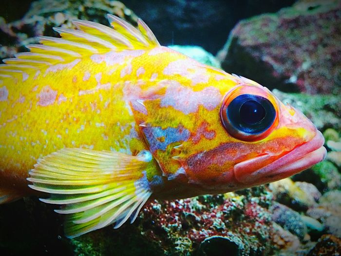 First Eyeem Photo Fish Color Fish Sheddaquarium Chicago Illinois Color Of Life Nature Fishes Aquarium Awesome Cool_capture_ Photo Of The Day Colour Of Life Colours Colors Beauty Beauty In Nature