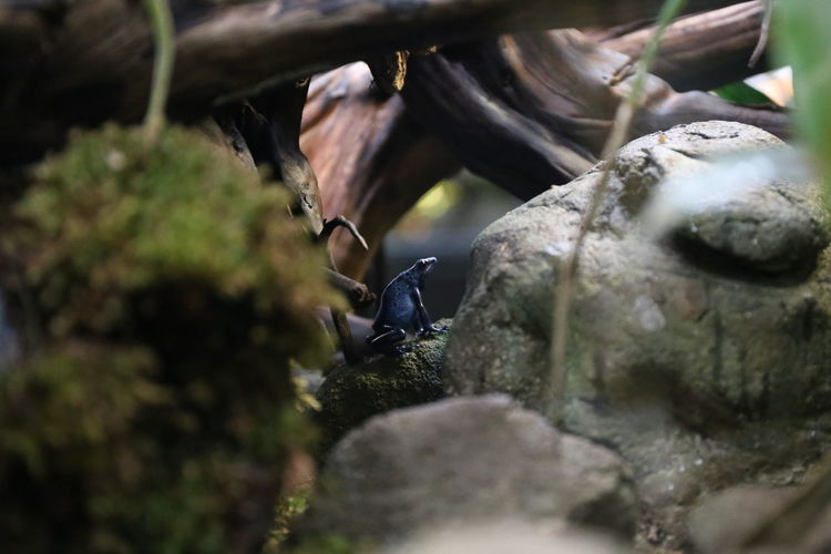 Blauer Pfeilgiftfrosch im Terrarium Animal Themes Animals In The Wild Blauer Frosch Blauer Pfeilgiftfrosch🍀 Close-up Day Exotisches Tier Frosch Froschkönig Nature No People Outdoors Regenwald Rock - Object Selective Focus Terrarium