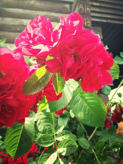 😚 Roses Red Frommygarden