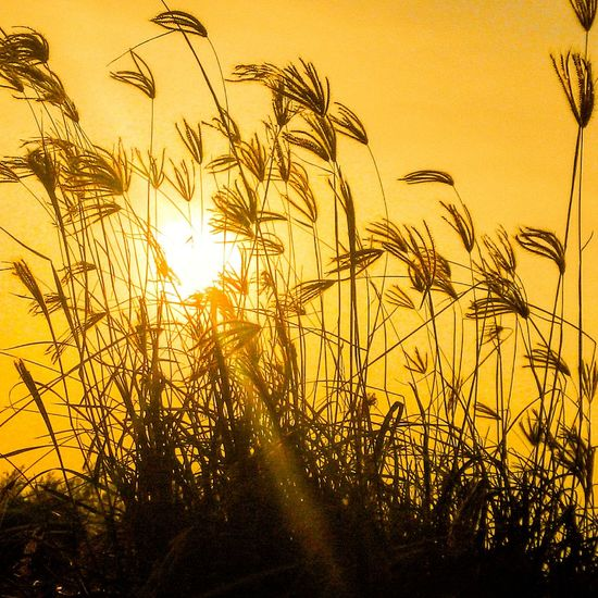 Sunset Sunlight Grass Landscape Twilight Plants And Flowers Plantography