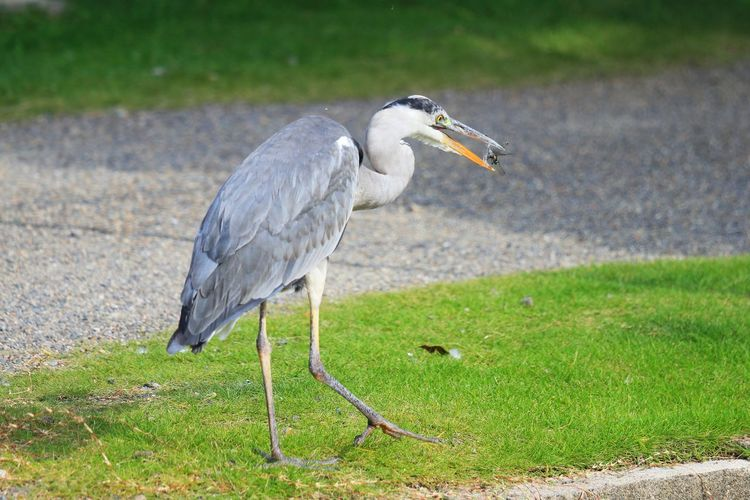 Side View Of Grey Heron Hunting Insect On Field