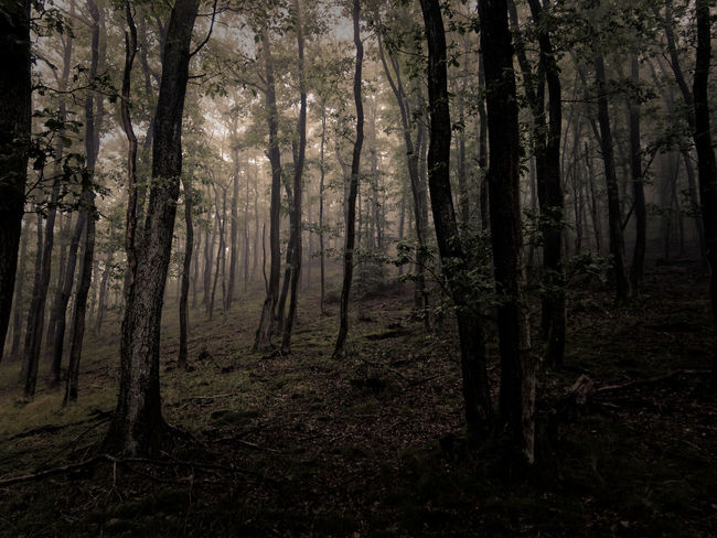 Mystic Nature Nature Photography Trees Beauty In Nature Claudetheen Foggy Forest Leaf Moody Nature Outdoor Photography Outdoors Tree Tree Trunk Vintage
