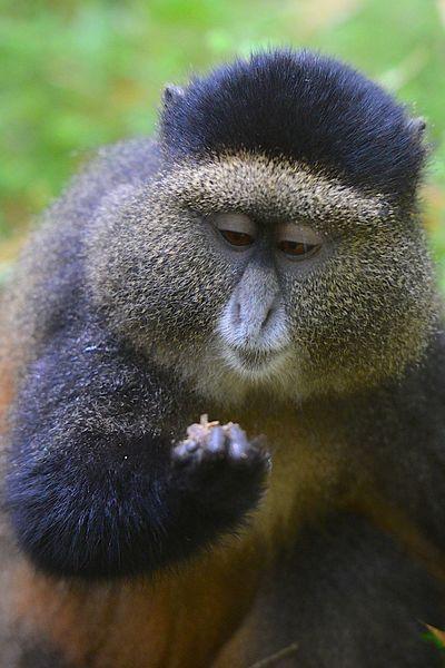 Wild Golden Monkeys In Rwanda Animals In The Wild Animal Wildlife Vertebrate Mammal No People Day Primate Primates Golden Monkey Golden Monkeys Monkeys Rwanda Wildlife Wild Wildlife & Nature Wildlife Photography Wild Animal Photography Wild Animals Bamboo Africa Animal Animals In The Wild
