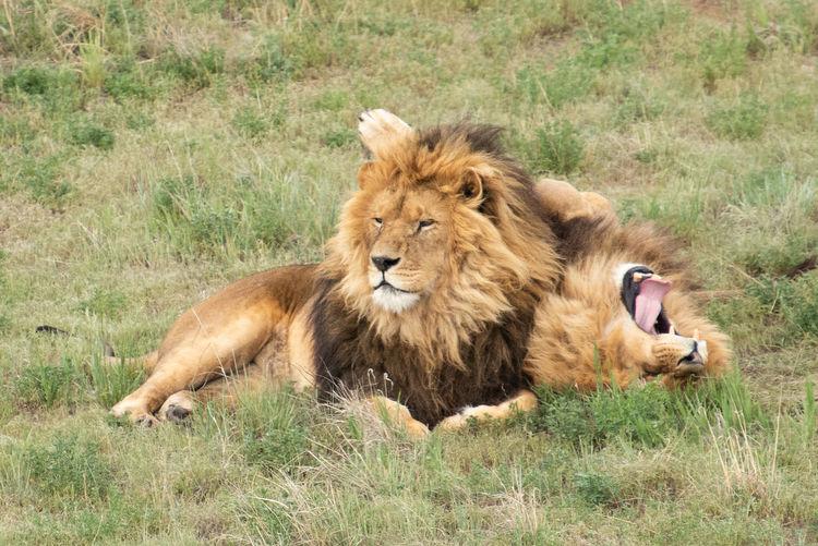Lion Animal Animal Themes Animal Wildlife Brothers Carnivora Cat Feline Grass Lion - Feline Lions Male Animal Mammal No People Sanctuary  Undomesticated Cat