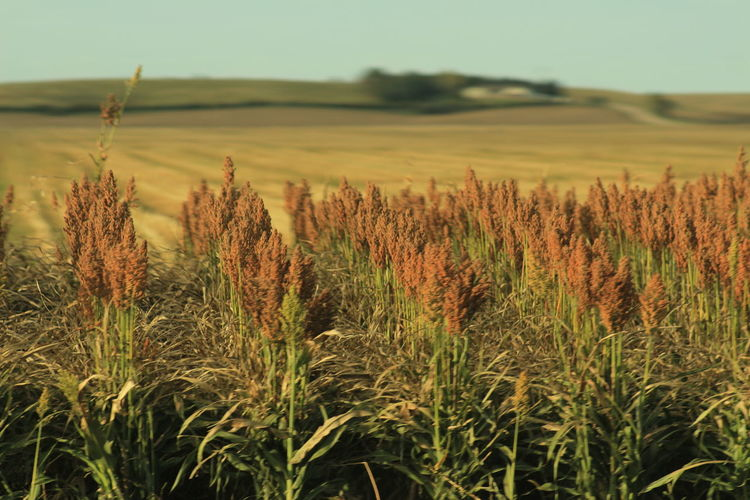 Agriculture Amaranth Family Beauty In Nature Crop  Day Farm Field Growth Landscape Nature No People Outdoors Plant Rural Scene Tranquil Scene Tranquility