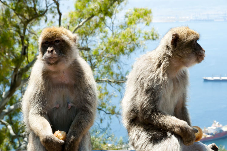 Barbary Macaques - Gibraltar Animal Themes Animal Wildlife Animals In The Wild Barbary Macaques Day Gibraltar Macaque Mammal Monkey Nature No People Outdoors Sky