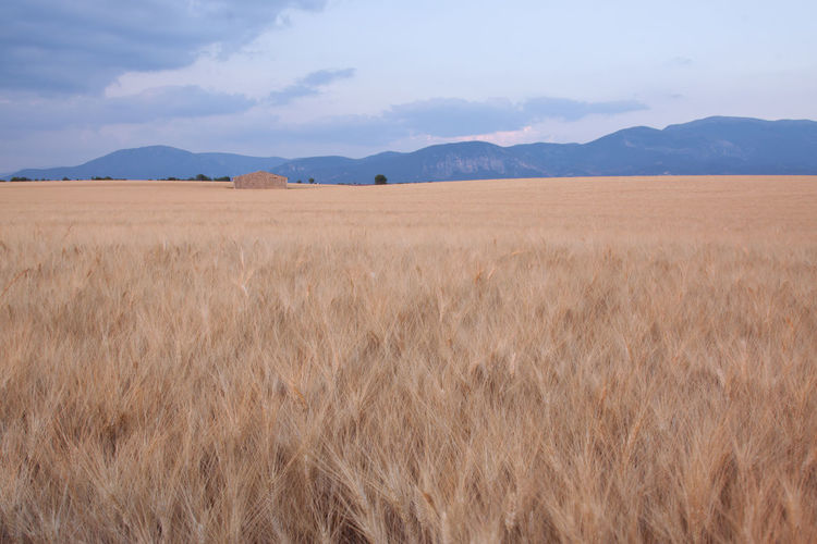 Wheat field in Provence with abandoned farmhouse Agriculture Beauty In Nature Brown Crop  Europe Farm Field Flowers France Growth Harvesting Landscape Lavander Mountain Mountain Range Nature Provence Rural Scene Scenics Senanque Sky Sun Tranquil Scene Tranquility Valensole