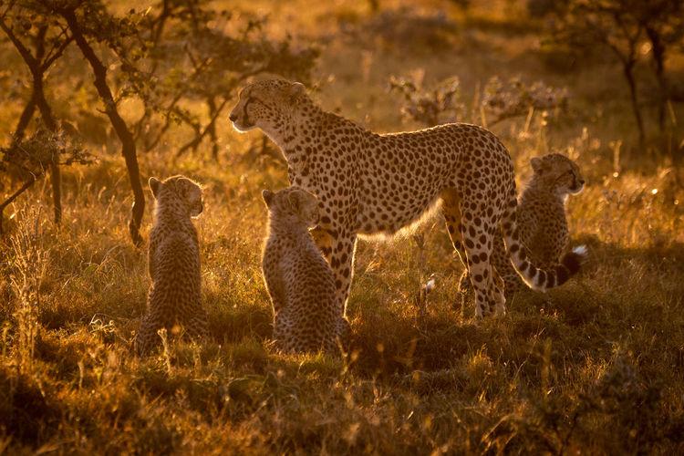Cheetahs On Grassy Field During Sunset