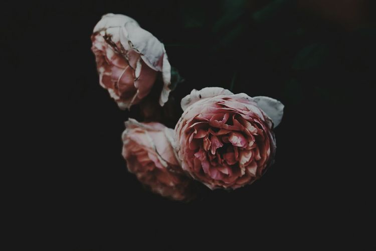 Close-up of wilted roses against black background