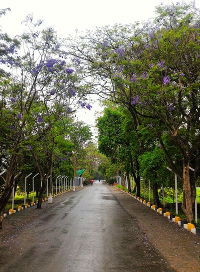 Jacaranda trees. April blossoms in Manipur, India. IndiaTrail Northeast India Manipur Blossom Jacaranda Tree Jacaranda Tree_collection  Trees Tree Naturephotography Roadtrip Road Trip Trees On The Road