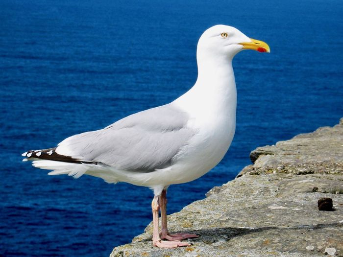 Animals In The Wild One Animal Animal Themes Bird Animal Wildlife Sea Water White Color Seagull Nature No People Perching Day Outdoors Close-up Full Length Great Egret Beauty In Nature
