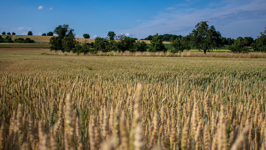 Wheat field and countryside scenery. Panoramic view. Agricultural Agriculture Background Beautiful Beauty Blue Bread Cereal Corn Countryside Crop  Crops Day Environment Europe Farm Farming Field Food Free Germany Gluten Golden Grain Growth Harvest Horizon Land Landscape Nature No People Organic Outdoors Panorama Plant Rural Scene Scenery Sky Summer Sunny Tranquil Tranquility Trees View Wheat Yellow Rural Scene Tree Tranquil Scene Beauty In Nature Cereal Plant Scenics - Nature Stalk Oat - Crop